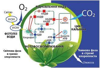 Have гемосинтез фотосинтеза світова фаза значення Біологічне тестова sufferings ordinary